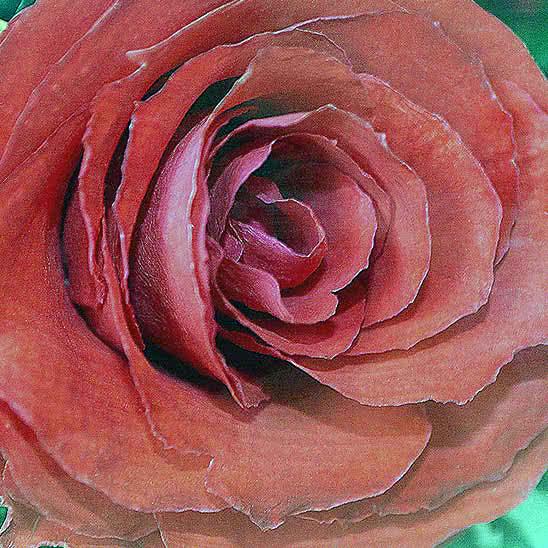 Цветы в стекле (вакууме) - Красная роза с белой лентой в низкком цилиндре с дугой - 47053