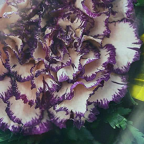 Цветы в стекле (вакууме) - Красные розы и королевские орхидеи с фиолетово-белыми диантусами в малой кубической вазе - 50213