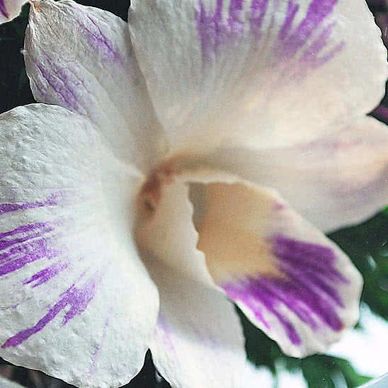 Цветы в стекле (вакууме) - Красные розы и королевские орхидеи с фиолетово-белыми диантусами в малой плоской круглой вазе - 50053