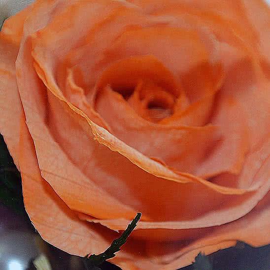 Цветы в стекле (вакууме) - Оранжевая роза с белой лентой в низкком цилиндре с дугой - 46803