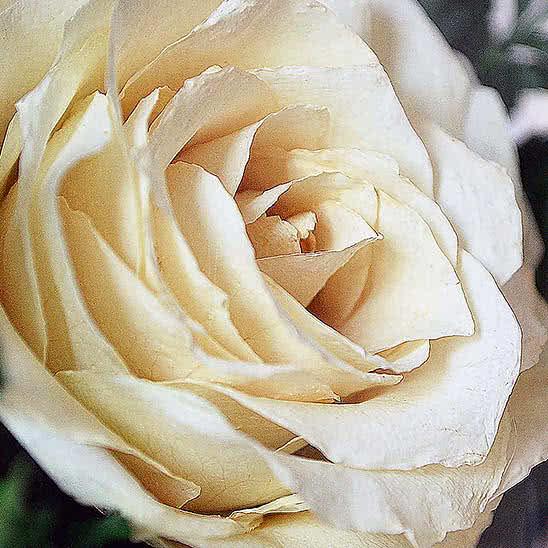 Цветы в стекле (вакууме) - Розовато-белые и фиолетовые орхидеи с айвори розами в малой круглой вазе - 42393